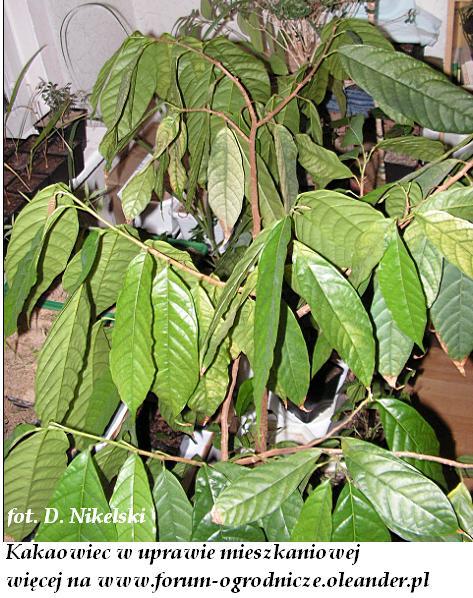 kakaowiec w uprawie mieszkaniowej.JPG