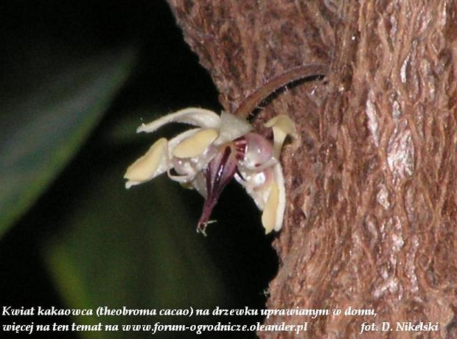 kwiat kakaowca zbliżenie.JPG
