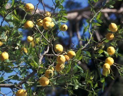 Cytryna (Citrus limon).jpg