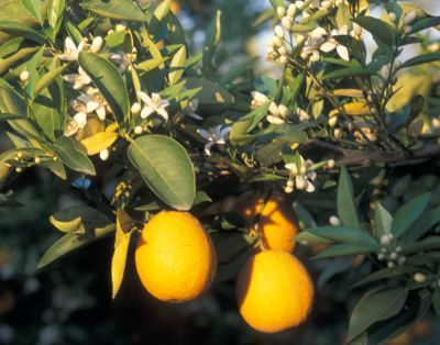 Citrus sinensis 02-6-27002.jpg