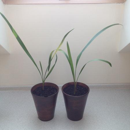 Palma Daktylowa I Nie Tylko Phoenixy Warunki Uprawy Jak