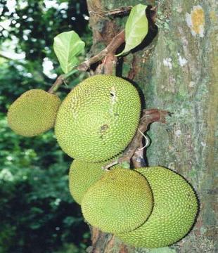 artocarpus1.jpg