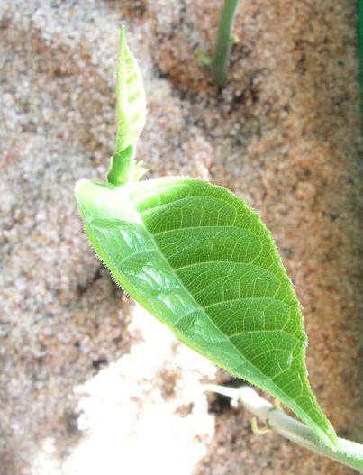 artocarpus2.JPG