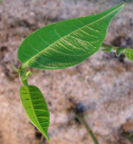 artocarpus3.jpg