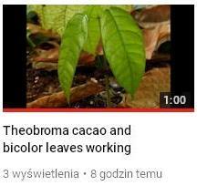 Rozwoj lisci kakao.JPG