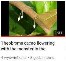 kwitnienie kakao.JPG
