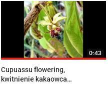 kwitnienie kakaowca cupuasu.JPG