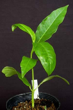 Adansonia-digitata.jpg