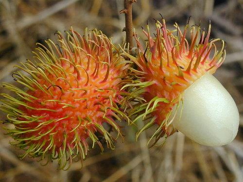 nephelium_lappaceum - fruit_small.jpg