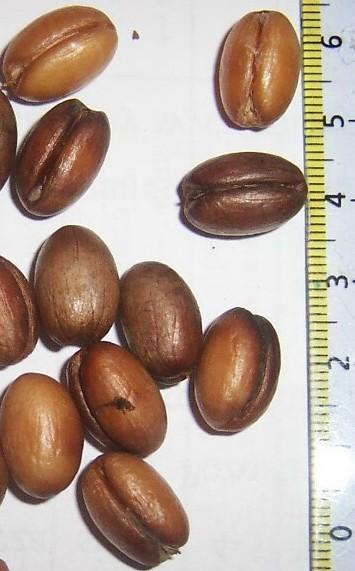 nasiona palmy1.jpg