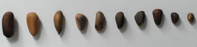 nasiona sosen orzechowych.jpg
