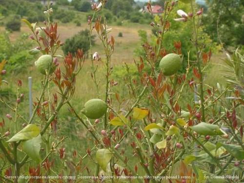 owocowanie cytryny_2.JPG