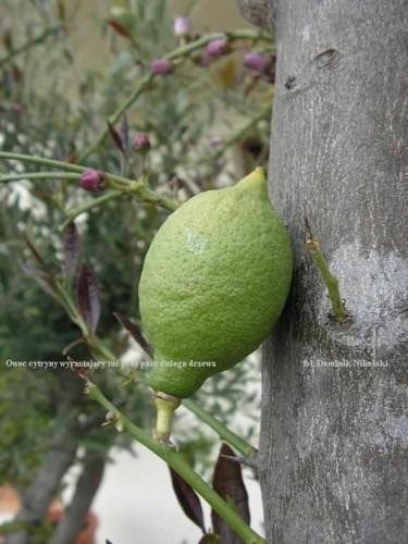 owoc cytryny na pniu_2.JPG