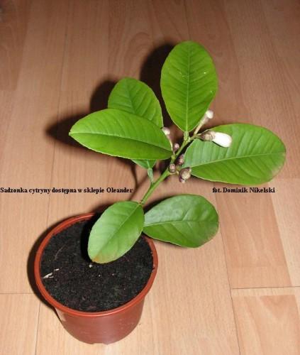 sadzonka cytryny ze sklepu oleander.JPG