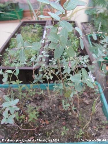 eucaliptus gunnii.JPG