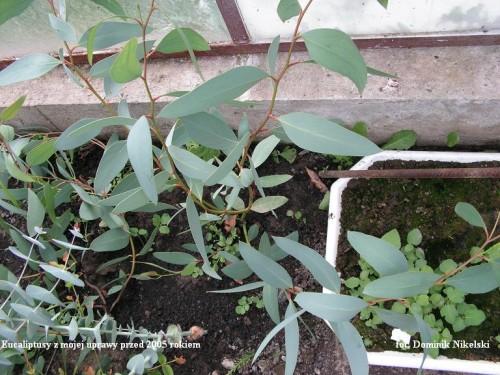 eucaliptus2.JPG