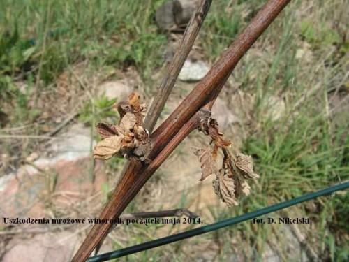 winogrona uszkodzone_2.JPG