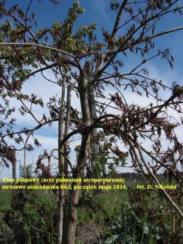 klon palmowy uszkodzony1_2.JPG