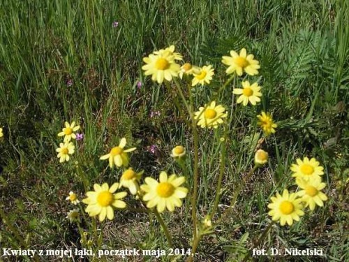 kwiaty z mojej łąki1_2.JPG