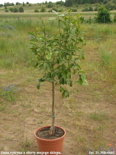 duża sadzonka cytryny ze sklepu oleander.JPG