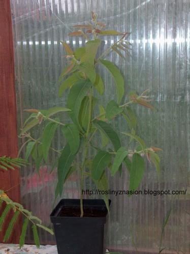 Eucaliptus cytrynowy2.JPG