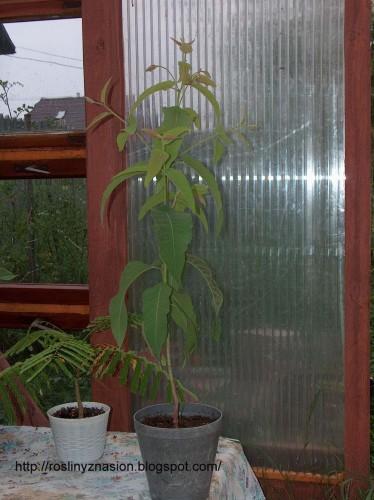 Eucaliptus cytrynowy3.JPG