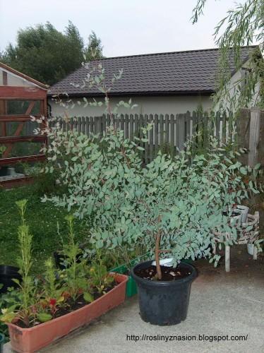 Eucalyptus gunni w Polsce - eukaliptus gunni.JPG