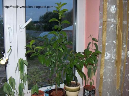 Cytryna w hydroponice.JPG