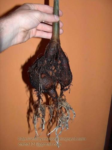 Baobab w hydroponice.JPG