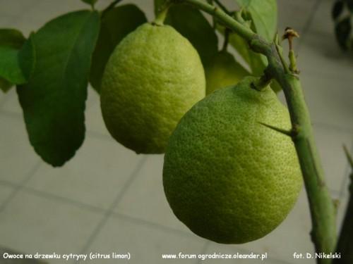 owoce cytryny.JPG