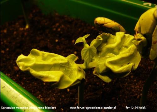 theobroma bicolor mocambo1.JPG
