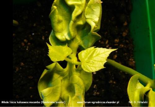 theobroma bicolor mocambo liście.JPG