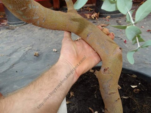 Eukaliptus gunni pien.JPG