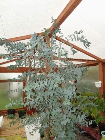 Eukaliptus gunni w szklarni.JPG