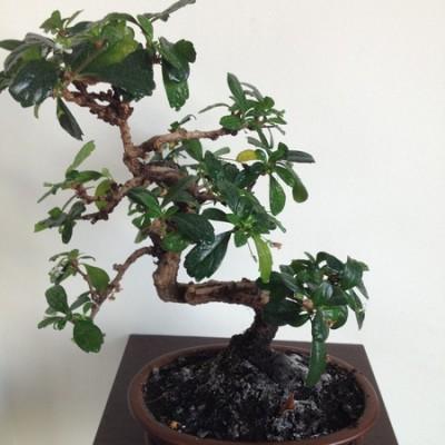 Bonsai 1.jpg