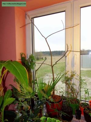 Baobaby w hydroponice.JPG