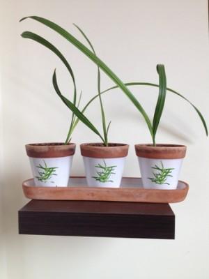 Sadzonki palmy daktylowej (Kopiowanie).jpg