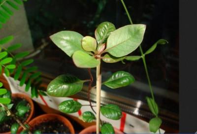 gethar pistacja.JPG