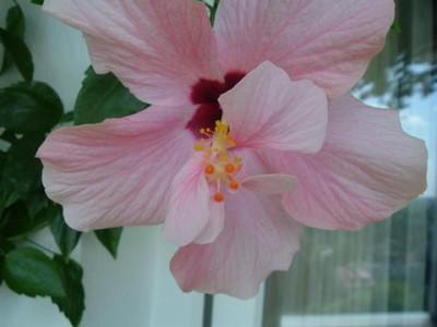 hibiskusf965.jpg