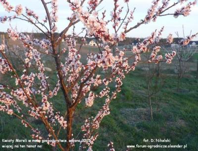 kwitnienie moreli 2015a.JPG