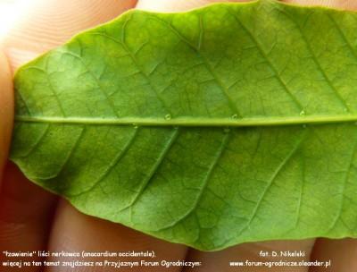 łzawienie liści anacardium.JPG