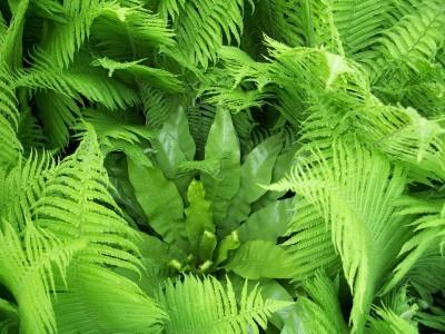asplenium nidus andres.jpg