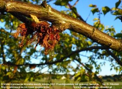 wycieki żywiczne na drzewku moreli 3.JPG