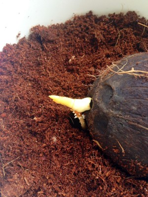 kiełek kokosa zdje_cie_1_5.JPG