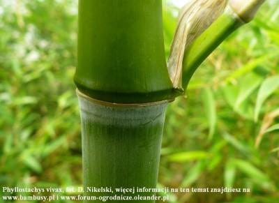 Phyllostachys vivax 1.JPG