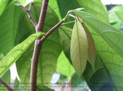 t cacao w uprawie domowej pęd 3.JPG