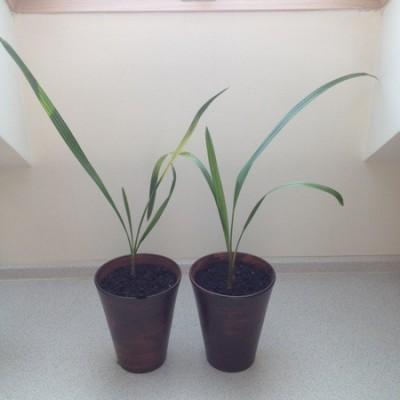 Palmy daktylowe (Kopiowanie).jpg