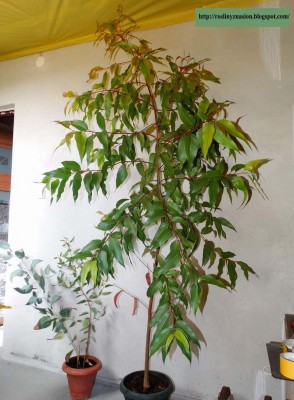 Eukaliptus.JPG