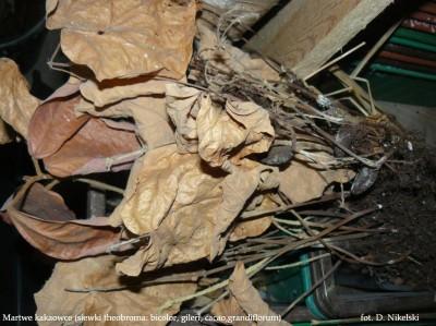 martwe kakaowce.JPG
