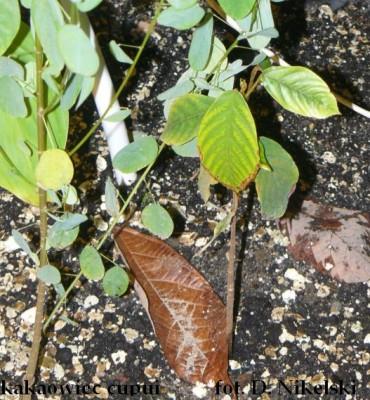 kakaowiec cupui.JPG